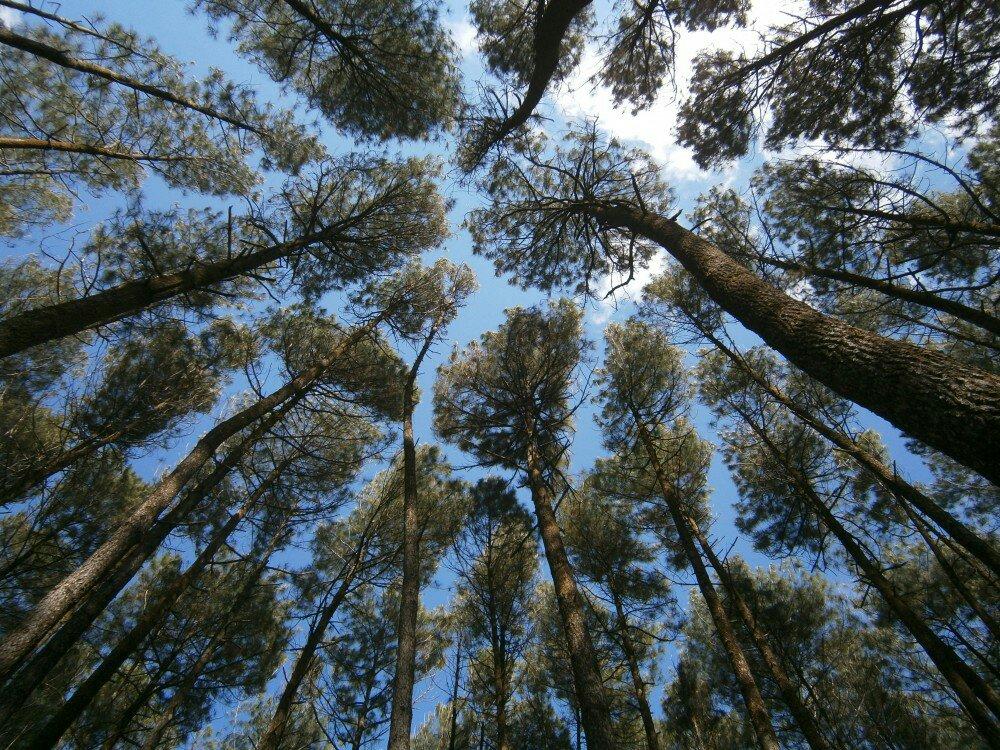Ilustrasi | Pemandangan Hutan Pohon Pinus.ist
